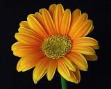 Daisy IMGP1181.jpg