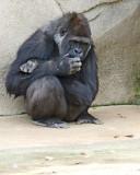 .Gorilla IMGP0165