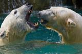 Polar Bears IMGP1402.jpg