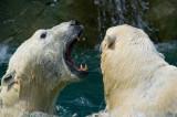 Polar Bears IMGP1403.jpg