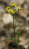 Wildflower IMGP2002.jpg