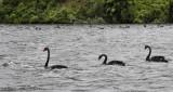 Swans on Rotoiti