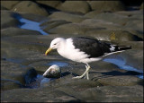 Black Backed Gull and fish-head
