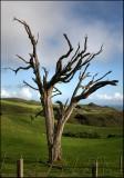 Dead Tree - maybe a Puriri tree