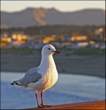 Seagull at New Brighton in the sunset