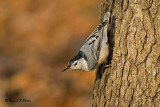 White - breasted Nuthatch