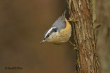 Red - breasted Nuthatch