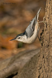 White - breasted Nuthatch  3