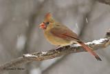 Northern Cardinal  3
