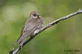 Northern Rough - winged Swallow   3