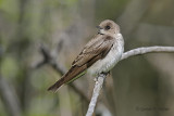 Northern Rough - winged Swallow   4