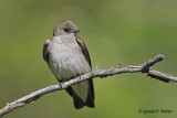Northern Rough - winged Swallow   5