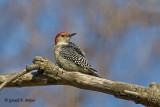 Red - bellied Woodpecker  1