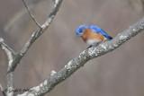 Eastern Blue Bird   9