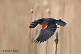 Red - winged Blackbird   4