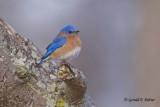 Eastern Bluebird   11