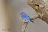 Eastern Bluebird   12