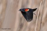 Red - winged Blackbird   6