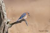 Eastern Bluebird   17