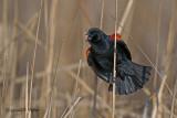 Red - winged Blackbird   7
