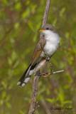 Yellow - billed Cuckoo