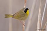 Common Yellowthroat   4
