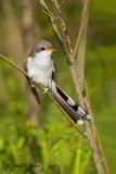 Yellow - billed Cuckoo   4