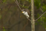 Yellow - billed Cuckoo   5