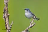 Blue - gray Gnatcatcher   3