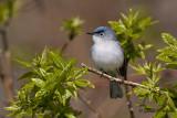 Blue -  gray Gnatcatcher   4