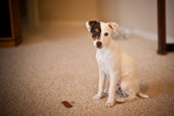 Bella the Jack Russell Terrier Puppy