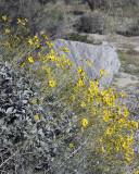 Desert Marigold 1