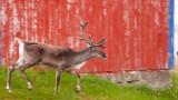 Reindeer, where is Santa?