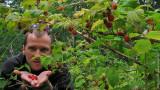 Picking Up Wild Raspberries