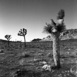 Joshua Tree N.P., California