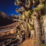 Welcoming First Joshua Tree Seen along Sierra Nevada Road, CA, USA