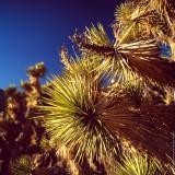 Joshua Tree (close-up), California, USA