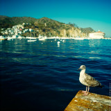 Seagull, St.Catalina Islland, CA, USA