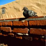 Dove on the brick wall, Avalon, St.Catalina Islland, CA, USA