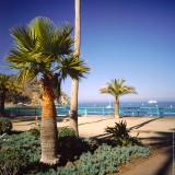 Palm Tree, Avalon, St.Catalina Islland, CA, USA