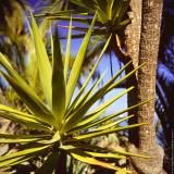 Palm Tree (close-up), Avalon, St.Catalina Islland, CA, USA