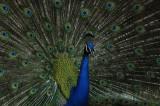 Arboretum Peacocks - 4/6/2008