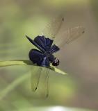 Sapphire Flutterer ¤T¨¤ÄR¯Í»f