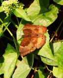 Baron 矛翠蛺蝶  Euthalia aconthea