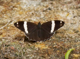 Banded Tree Brown 白帶黛眼蝶 Lethe confusa
