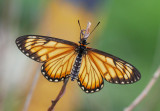 Yellow Coster (male) R³Â¬Ã½º(¶¯) Acraea issoria
