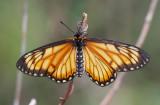 Yellow Coster (female) R³Â¬Ã½º(»Û) Acraea issoria