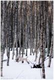 21/3 Bonnie in the birch grove