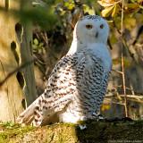 snow owl 900.jpg