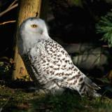 snow owl 2 900.jpg